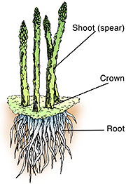 Asparagus crown, spears, and roots shown in a schematic
