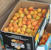 Boxes of apricots destined to be turned into fruit leather