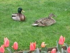 Ducks in the garden