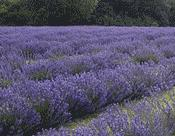 Field of lavender waiting to be turned into delicious lavender biscuits