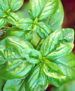 Basil can be frozen to preserve its flavour