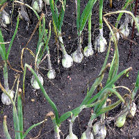 growing garlic grow your own. Black Bedroom Furniture Sets. Home Design Ideas