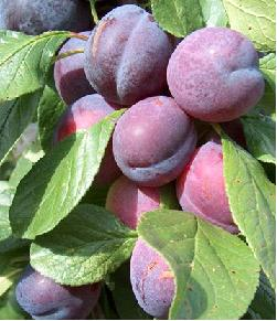 Growing plums and damsons