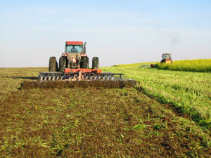 Mustard green manure being chopped in October