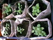 Newspaper Plant Pots for seedlings