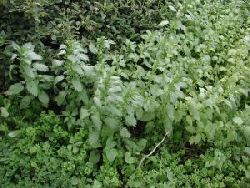 Patch of nettles