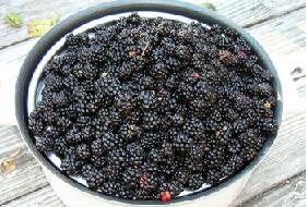Blackberries picked and ready to be washed