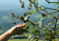 Picking wild blackberries