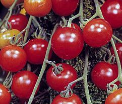 Red Alert outdoor suitable tomato plants and seeds