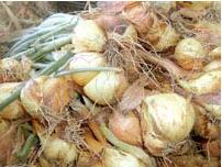 Harvesting shallots - dry cure