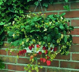 Strawberry plants in a hanging basket