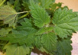 The tops of young nettles